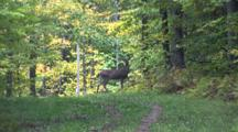 White-Tailed Deer, Buck Standing On Trail In Woods, Foot Race Runner Coming Form Behind, Deer Exits Top Of Trail