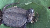 Young Snapping Turtle, Cu Looking At Camera