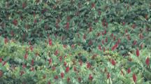 Staghorn Sumac, Group, Zoom To Moderate Cu