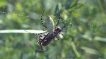 Garden Spider With Grasshopper, Spider Lifts Grasshopper Farther Up Web