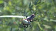 Garden Spider Maneuvering Grasshopper In Web