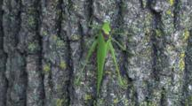Katydid On Tree, Ant Visits, Exits