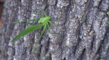 Katydid Swaying On Side Of Tree