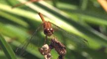Dragonfly, Yellow-Legged Meadowhawk On Branch, Sun Shines From Behind Clouds