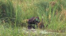 Beavers Huddling On Floating Bog Mat, Both Quickly Exit Together
