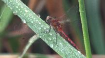 Dragonly, White-Faced Meadowhawk On Dew-Laden Grass Blade, Grooming