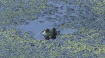 Green Frog Head In Green Weed Pond
