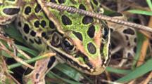Leopard Frog, View Of Face, Exits
