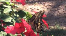 Giant Swallowtail Butterfly On Pink Impatiens Flower