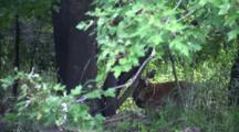 White-Tailed Deer Peeking Out From Brush On Bank Of River, View From Passing Boat