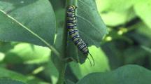 Monarch Caterpillar, Feeding, Hanging Upside Down
