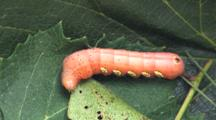 Sphinx Moth Caterpillar, Pandora Sphinx, On Bed Of Leaves, Moving About, Reaching Back