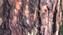 Northern Walking Stick, On Evergreen Tree Trunk, Slowly Moves Upward
