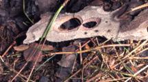 Northern Walking Stick, Prone, Camouflaged On Ground