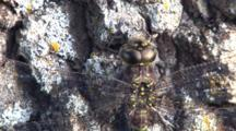 Dragonfly Resting On Tree Trunk Close Up Of Face, Abdomen, Wing Supports