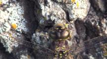 Dragonfly Resting On Tree Trunk, Close Up Of Face, Abdomen, Wing Supports