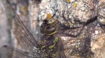 Dragonfly Resting On Tree Trunk, Side View , Close Up Of Face, Abdomen, Wing Supports