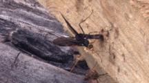 Pair Of Ichneuman Wasp Laying Eggs
