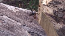 Ichneuman Wasp Laying Eggs In Wood, Walking About On Stump