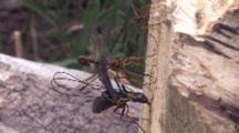Ichneuman Wasp Laying Eggs In Wood, Another Positions Ovipositor Into Stump