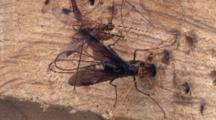 Ichneuman Wasp Laying Eggs In Wood, One Walking Around