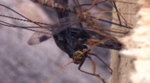Ichneuman Wasp Laying Eggs In Wood, Zi To Cu