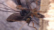 Ichneuman Wasp Laying Eggs In Wood, Front Wasp Out Of Focus, Waving Wings