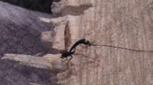 Ichneuman Wasp Walking On Stump, Waving Ovipositor