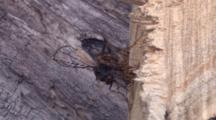 Group Of Ichneuman Wasp Laying Eggs In Wood