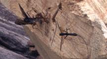 Group Of Ichneuman Wasp Laying Eggs In Wood, One Flies Short Distance