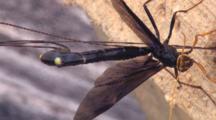 Ichneuman Wasp Laying Eggs In Stump, Waving Abdomen, Pumping Ovipositor
