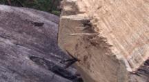 Three Ichneuman Wasps Laying Eggs In Stump