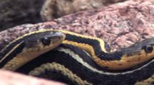 Three Eastern Garter Snakes, Entwined Together In Rock Pile, Pan Across To Second Snake