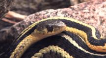 Eastern Garter Snakes, Together In Rock Pile, One Flicking Tongue, Breathing