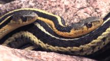 Two Eastern Garter Snakes, Zo To Three Garter Snakes, Together In Rock Pile