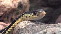 Eastern Garter Snake, Head Laying On Rock
