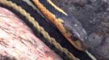 Three Eastern Garter Snakes, Sliding Together Down Rock Pile