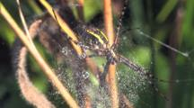 Garden Spider Hanging Beneath Web, Exits Quickly