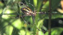 Garden Spider Hanging Beneath Web