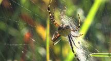 Garden Spider Hanging Beneath Web, View From Back