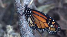 Newly Hatched Monarch Butterfly, Still, On Branch