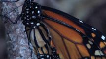 Newly Hatched Monarch Butterfly, Cu Body, Wrinkled Wings