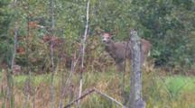 Large White-Tailed Buck Grazing, Lifts Head, Resumes Foraging