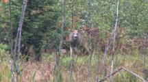 White-Tailed Buck Grazing, Lifts Head Looks At Camera, Resumes Feeding