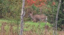 White-Tailed Buck Grazing, Lifts Head, Looks Into Woods, Walks