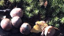 Acorns On Ground, Ground Pine In Bg