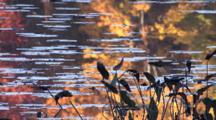 Arrowhead Water Plants On Shore Of Small Lake, Autumn Colors Reflection In Water