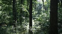 Forest, Morning Light Filtering Through