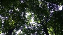 Forest, Looking Up Into Canopy