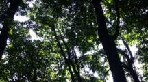 Forest Canopy, Slow Pan Down